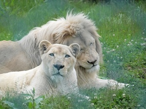 ホワイトライオン.jpg